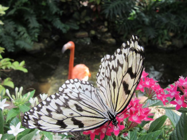 Flamingo_vlinder_Key-West-Butterfly-and-Nature-Conservatory