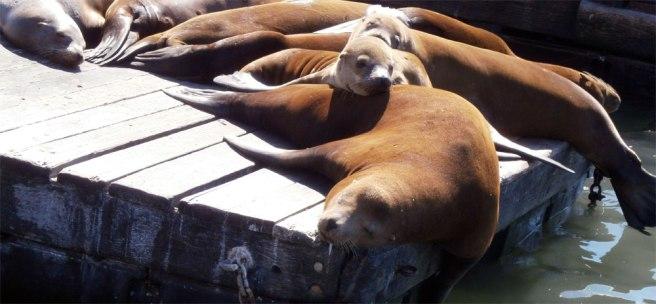 Zeeleeuwen bij Pier 39 in San Francisco